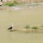 river-bird