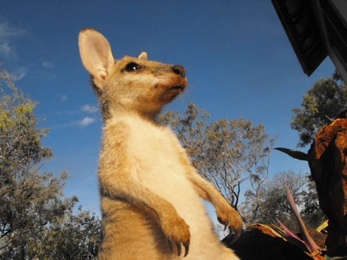sweedy-kangaroo-2