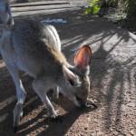 sweedy-kangaroo2-2